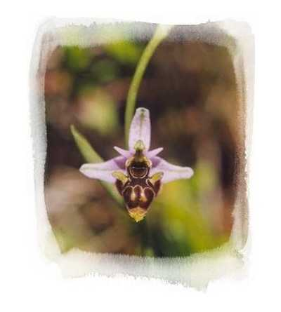 11 - Ophrys Scolopax 15 ml.