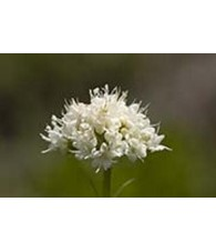 California Valerian 7,5-30 ml.