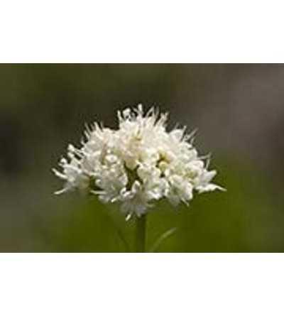 California Valerian 7,5-30 ml.