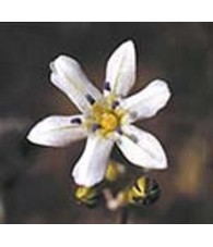 Glassy Hyacinth 7,5-30 ml.