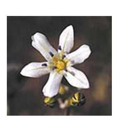 Glassy Hyacinth