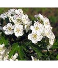 Hawthorn - Espino Blanco  7,5-30 ml.