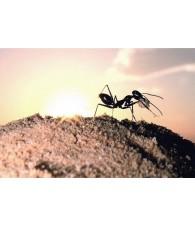 Esencia de Hormiga 15 ml