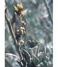Sagebrush 7,5-30 ml.