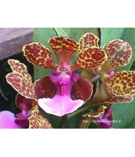 Orquidea Color 15 ml.