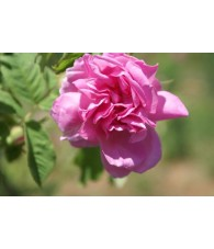 Fragancia Natural Petalos de Rosa 10 ml.