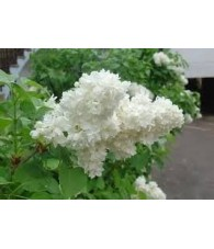 Fragancia Natural Lilas Blancas 10 ml.