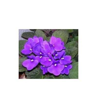 Fragancia Natural Violetas 10 ml.