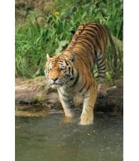 Tiger Essence 15 ml