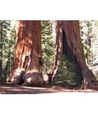 Sequoia 7,5-30 ml.