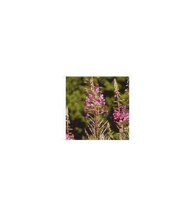 Rosebay willowherb 15 ml.