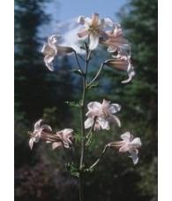 Shasta Lily  7,5-30 ml.