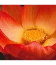 Lotus 15 ml.