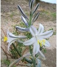 Desert Lily 7,5-30 ml.