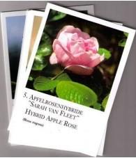 Cartas Rosas - Korte