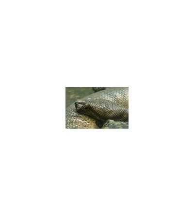 Esencia de Anaconda 15 ml.
