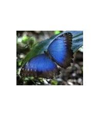 Esencia de Mariposa Morpho Pelaides 15 ml.