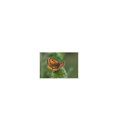 Esencia de Mariposa de Fuego 15 ml.