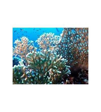 Esencia de Coral de Fuego 15 ml