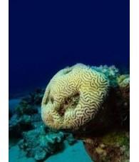 Esencia de Coral de Pieda 15 ml