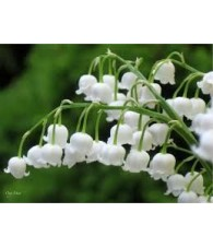 Fragancia Natural Muguet 10 ml.