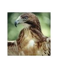 Esencia de Aguila de Cabeza Blanca 15 ml.