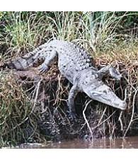 Esencia de Cocodrilo (Alligator) 15 ml.