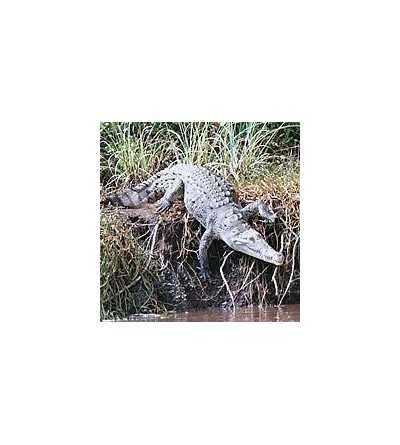 Alligator Essence 15 ml.