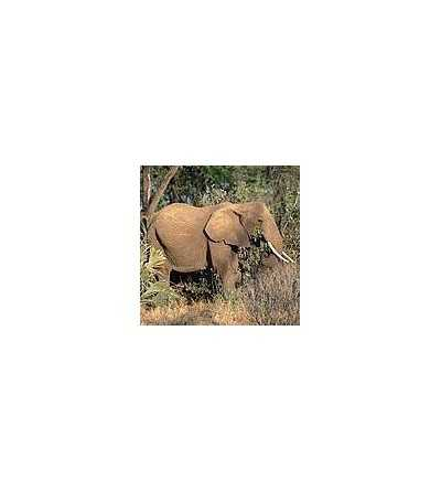 Esencia de Elefante 15 ml