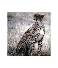 Esencia de Leopardo 15 ml