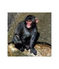 Esencia de Mono 15 ml