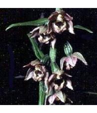 Orquidea Reina de las Nieves