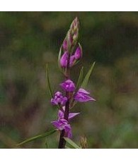 Orquidea Reina de las Nieves 15 ml.
