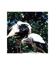 Stork Essence 15 ml.
