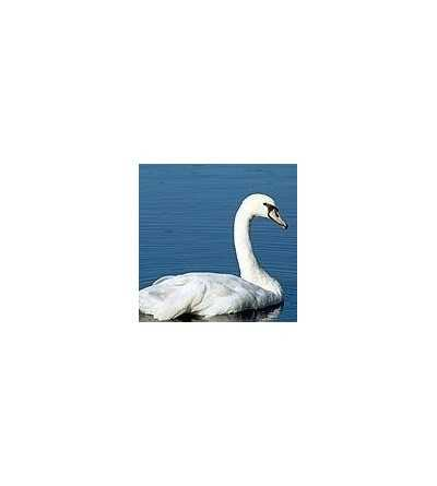 Swan Essence 15 ml.