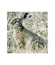 Esencia de Conejo 15 ml.