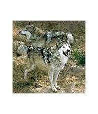 Wolf Essence 15 ml.