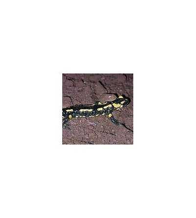 Esencia de Salamandra 15 ml.