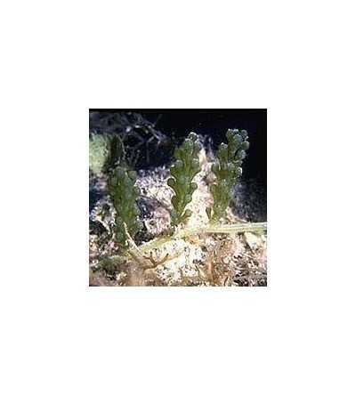 Esencia de Alga 15 ml.