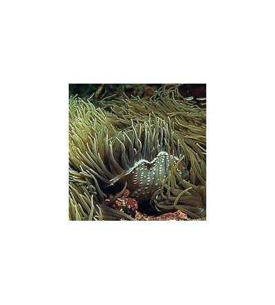 Sea Anemone Essence 15 ml.