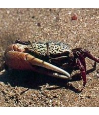 Crab Essence 15 ml.