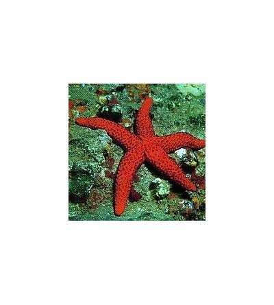 Esencia de Estrella de Mar 15 ml.