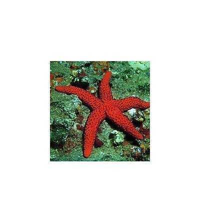 Starfish 15 ml.