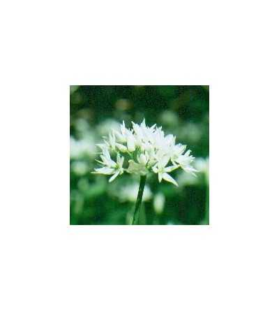 Wild Garlic 15 ml.