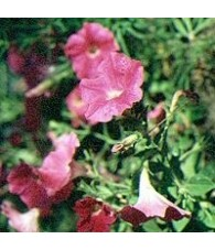 Petunia 15 ml.