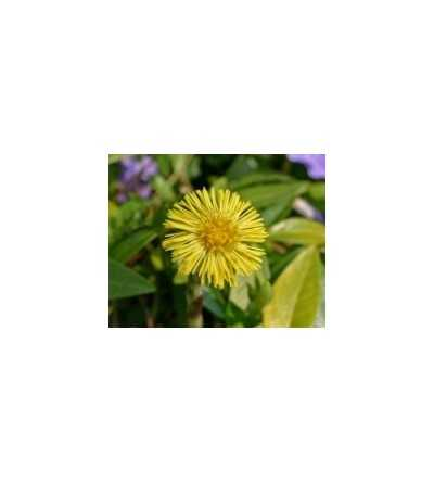 Coltsfoot 15 ml.