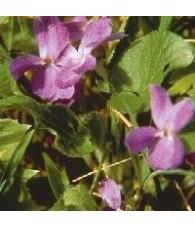 Violet 15 ml.