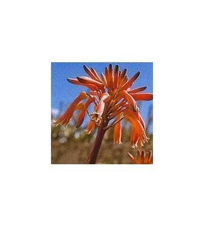 Aloe 15 ml