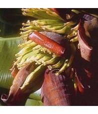 Banano (Plátano) 15 ml.
