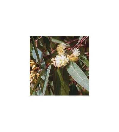 Eucaliptus 15 ml.
